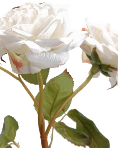 Amadeus Rosa Jardín  Blanca