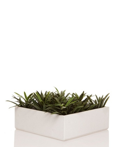 Concoral Concobox Podocarpus