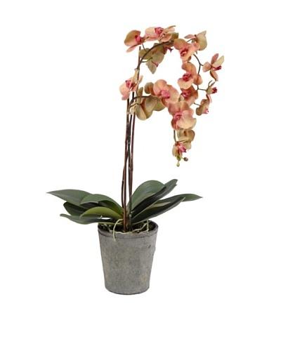 Korb Orquídea Phalae Yukimai Mac 80 cm